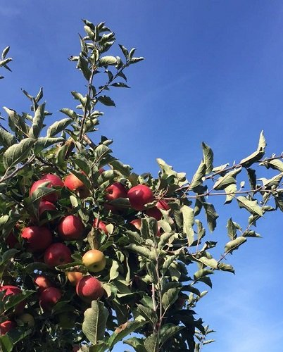 The AF Guide to Apple Picking